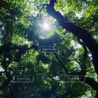 森の中の大きな木の写真・画像素材[3733679]
