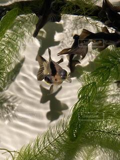 水の中を泳ぐ金魚の写真・画像素材[3733691]