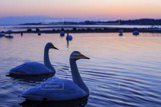 朝焼けの海に泳ぐ白鳥の写真・画像素材[959156]