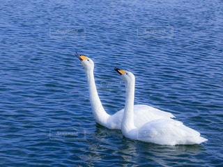 声を上げる二匹の白鳥の写真・画像素材[959593]