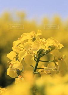 春の菜の花の写真・画像素材[1031897]
