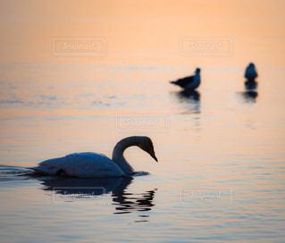 朝の海で泳ぐ白鳥の写真・画像素材[1180717]