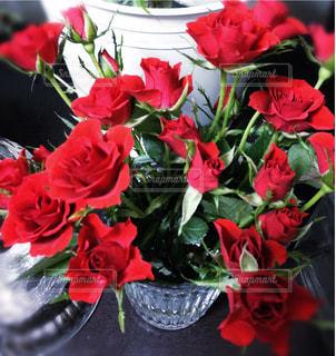 赤い小さい薔薇の写真・画像素材[959187]