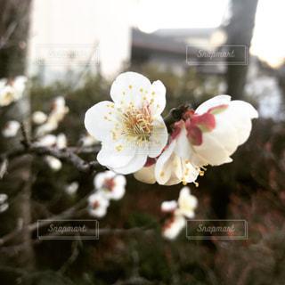 白い梅の花アップの写真・画像素材[1009947]