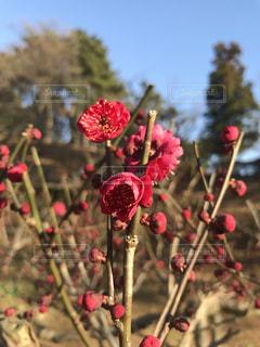 紅い梅の花のアップの写真・画像素材[1013416]