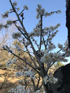 梅の枝と午後の空の写真・画像素材[1013418]