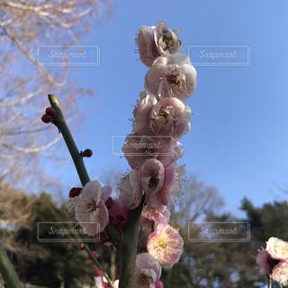 団子のように連なる梅の花の写真・画像素材[1014435]