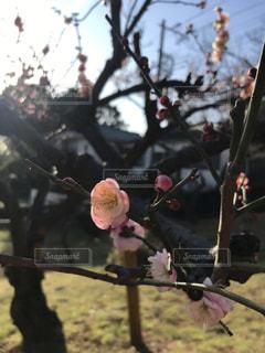 薄ピンクの可憐な梅の花の写真・画像素材[1014437]