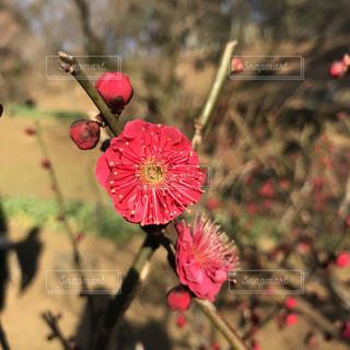 紅い梅の花のアップの写真・画像素材[1014442]