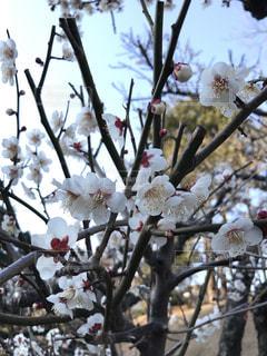 梅の枝の写真・画像素材[1014443]