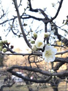 梅の枝の写真・画像素材[1014451]
