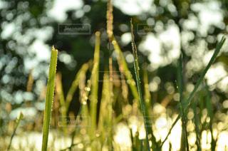 朝露と草の写真・画像素材[960375]
