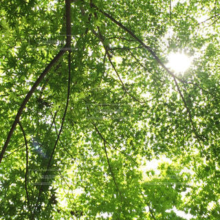 もみじの木漏れ日の写真・画像素材[961147]