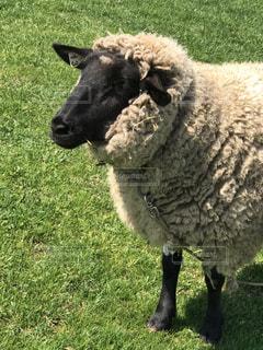緑豊かな緑のフィールドに立っている羊の写真・画像素材[1148305]