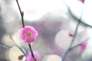 梅の花 - No.1059810