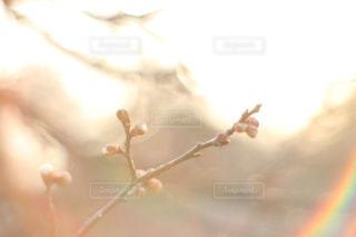 梅の花の蕾の写真・画像素材[1059811]