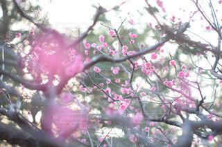 ピンクの花の木 - No.1059815