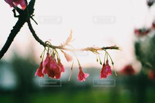 夕陽に照らされる桜の写真・画像素材[1874585]