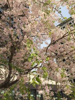 桜の写真・画像素材[1116102]