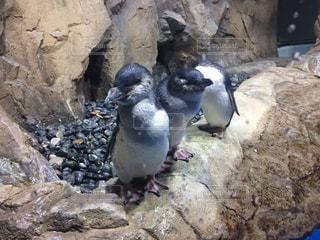 岩に立っているペンギンの写真・画像素材[960893]