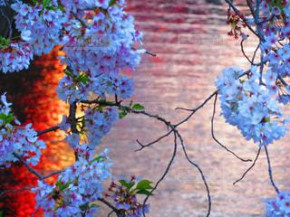 桜の写真・画像素材[960774]
