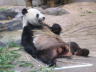 パンダの写真・画像素材[960846]
