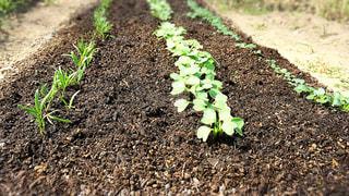野菜の発芽の写真・画像素材[960771]