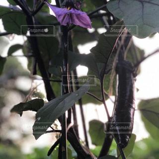 ナスの写真・画像素材[2249457]