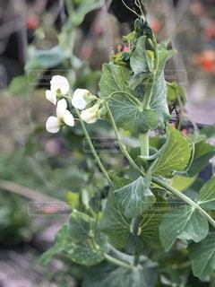 エンドウの花の写真・画像素材[2949632]