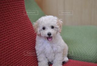笑顔のミルティ☆の写真・画像素材[960845]