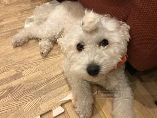 小さな白い犬の写真・画像素材[961594]