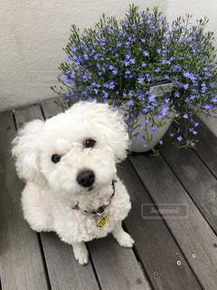 テーブルに座っている小さな白い犬の写真・画像素材[961596]