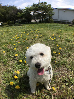 たんぽぽがたくさん咲いてお散歩楽しいわん!の写真・画像素材[1695185]