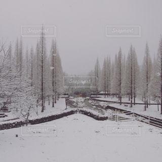 雪に覆われたメタセコイアの写真・画像素材[961217]