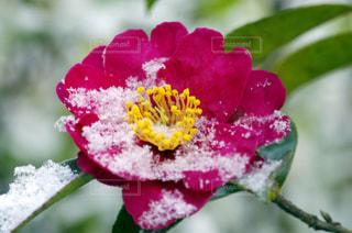 薄っすらと雪をかぶったサザンカの写真・画像素材[961252]