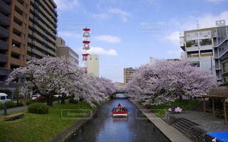 富山市、松川の桜並木の写真・画像素材[961988]