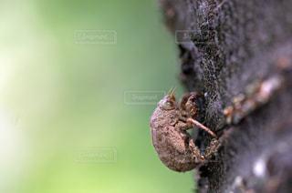 セミの抜け殻の写真・画像素材[965059]