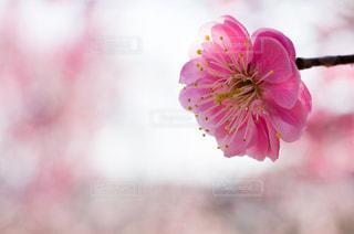 梅の花の写真・画像素材[965074]