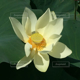 蓮の花のアップの写真・画像素材[961867]