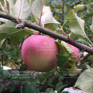 枝からぶら下がった林檎の写真・画像素材[961876]
