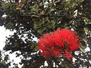 オヒアレフアの赤い花の写真・画像素材[968551]