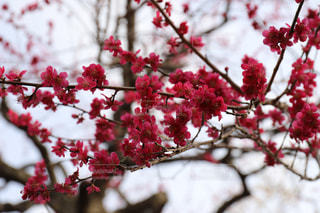 梅の写真・画像素材[1082632]