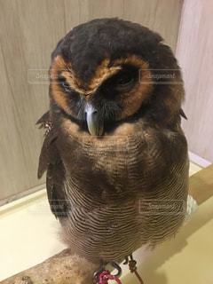 鳥を見てフクロウの写真・画像素材[964099]