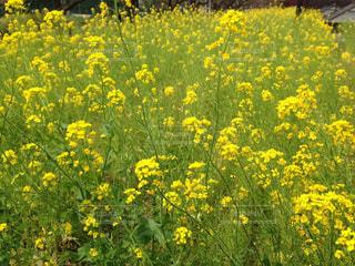 菜の花畑 - No.964071