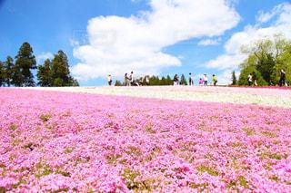 芝桜の写真・画像素材[996963]