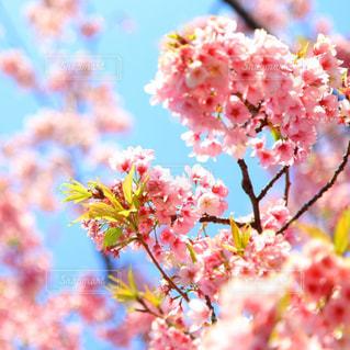 河津桜の写真・画像素材[2056031]