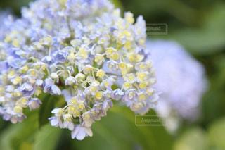 優しい紫陽花の写真・画像素材[2243215]