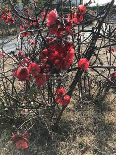 赤い枝木の写真・画像素材[968332]