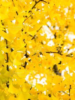 かわいい銀杏の黄色の写真・画像素材[965262]
