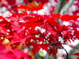 紅葉の赤の写真・画像素材[965275]